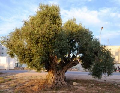 20170126142107-oliveretamorogata.jpg